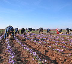 workers harvesting crocus flowers for saffron
