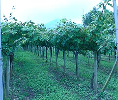 txakoli getariako grape vines on trellises