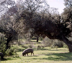 ibérico pig grazing in the dehesa pastureland