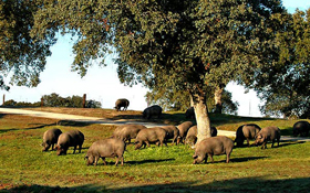 iberico pigs grazing in the dehesa pastureland