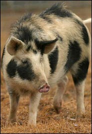 An acorn-eating Ossabaw Hog